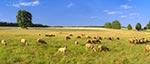 Owce na łączce w Bohuszach koło Werchraty