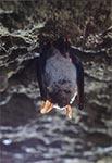 Nietoperz zimujący w sztolni w Senderkach