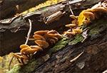 Opieńka miodowa (Armillaria mellea sensu lato)
