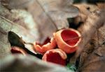 Czarka szkarłatna - to podobno rzadki grzybek w Polsce ale my na Roztoczu spotykamy go niezwykle często