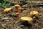 Maślaki żółte występują tylko pod modrzewiami. Warto zajrzeć jesienią do modrzewiowych młodników - tych nieco starszych oczywiście. Można tam wówczas natknąć się na mnóstwo tych doskonałych grzybków