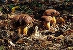 Podgrzybki w roztoczańskim borze