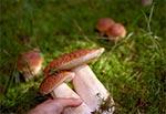 Borowiki w Puszczy Solskiej - miejscówka, o której wiemy tylko my. Nie widzieliśmy przez całą jesień śladów po innych grzybiarzach. Istne zagłębie borowikowo-rydzowe