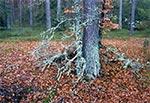 Niezwykle obfite w porosty lasy w rejonie Senderek