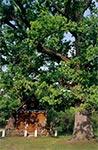 Kapliczka pod dębami w Górecku Kościelnym