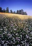 Pola kwitnącej gryki na Roztoczu Zachodnim