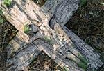 Krzyż o tajemniczej historii z roku 1906 roku w rejonie wsi Kornie, o którym możemy przeczytać więcej na stronie www.fotoroztocze.wordpress.com Na zdjęciu stan z dnia 27 października 2014 tuż po jego oczyszczeniu z mchu i ściółki