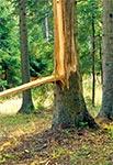 Świeży ślad po uderzeniu pioruna w drzewo - lasy w okolicach Florianki