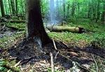 Efekt uderzenia pioruna - rezerwat Czerkies w Roztoczańskim Parku Narodowym