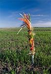 Zwyczaj wbijania palm wielkanocnych w pole - zachowany jeszcze na Roztoczu