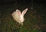 W Łazowej nocą można spotkać stadko królików na poboczu.