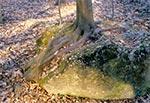 Kiedyś przy drodze na Mansterz z Werchraty znajdowała się taka ciekawostka - grab czy buk wyrósł na głazie