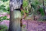 W okolicy dawnej wsi Horaj możemy zobaczyć przy wjeździe do lasu unikatowy drewniany szlaban. Brakuje tylko poprzecznego drąga. Trzeba wyrazić uznanie leśnikom z Nadleśnictwa Tomaszów, za to, że go nie zlikwidowano, bo to przecież interesująca ciekawostka jest, a może nawet zabytek, znajdujący się na dodatek jak widac na szlaku turystycznym więc łatwy do znalezienia dla każdego