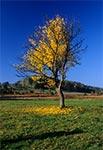 To drzewo niestety zostało wycięte - między Kaczórkami a Bondyrzem
