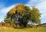 Stara jabłoń we Wojdzie jesienią