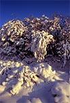 Oprószone śniegiem zarośla na zawietrznej - rezerwat Kąty