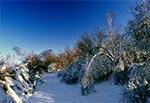 Przygięte pod ciężarem lodu drzewa na Roztoczu Szczebrzeszyńskim