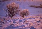 Oblodzone drzewa na polach wsi Sochy koło Zwierzyńca