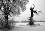 Drzewo pomnik na skraju Roztocza Środkowego i Grzędy Sokalskiej - od dawna nie istnieje