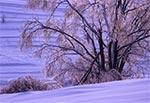 Oblodzone drzewa na polach wsi Sochy