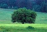 Prastara grusza na łąkach Dahanów - Roztocze Wschodnie / Poludniowe