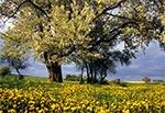 Eksplozja kwiecia podczas roztoczańskiej wiosny - Senderki