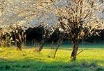 Stary sad tuż przed Jacnią, jadąc od Adamowa. Te drzewa jednak już nie istnieją