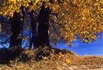 Stare lipy jesienią na Roztoczu Zachodnim - pomiędzy nimi stoi stary krzyż