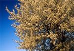 Huczące od pszczół drzewo