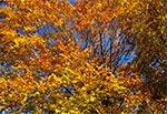 Jesienny buk