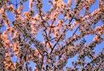 Ukwiecone drzewo w blasku zachodzącego słońca