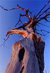 Martwe drzewo w blasku zachodzącego słońca - łąki między Kalinowaicami a Pniówkiem