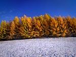 Jaśniejące żółcieniami modrzewie (ostatnie akordy jesieni) oraz pierwszy śnieg - czyli granica dwóch pór roku na jednym kadrze. Jesteśmy na Roztoczu Środkowym na jednej z najwspanialszych modrzewiowych miejscówek foto - tzw. Modrzewiowej Górce (Max. wielkość obrazu - 63 mln.pix).
