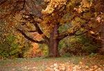 Dębisko w parku w Michalowie