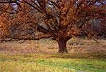 Spory samotny dąb, na terenie parku w Michalowie. Na Roztoczu takie okazy nie występują na polach.