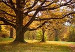 Dąb w parku w Michalowie