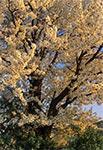 Pełnia kwitnienia na Roztoczu - stara trześnia na Roztoczu Zachodnim