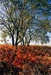 Między Hubalami a Wychodami - drzewa te już nie istnieją