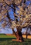 Ponad stuletnia trześnia na Roztoczu Środkowym - Senderki