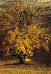 Prastare drzewo jesienią - Roztocze Środkowe