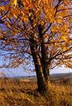 Wiśnia na Roztoczu Środkowym jesienią