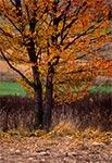 Jesienne drzewko roztoczańskie