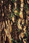 Kora starej brzozy w lasach okolic Szewni