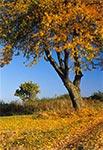 Wiśni na roztoczańskim szlaku (zielonym). W oddali widoczny krzyż przydrożny