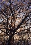 Oblodzone drzewo