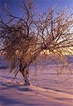 Kryształowe drzewo na stokach Bukowej Góry