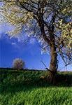 Wiosenna trześnia na miedzy