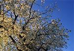 W cieniu śródpolnej roztoczańskiej trześni - huczącej od pszczół