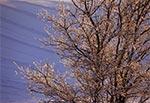 Oblodzone drzewo na tle pól wsi Sochy