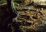 Znajome chyba dla wszystkich korzenie drzewa rosnącego tuż przy Szumach w Rebizantach